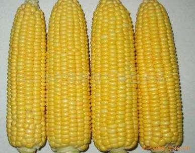 速冻甜玉米这么甜,是不是转基因的呀?